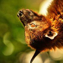 Flugfuchs Profil von kattobello