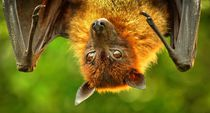 Flugfuchs by kattobello