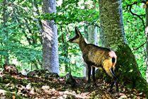 Gämse im Wald 2 by kattobello