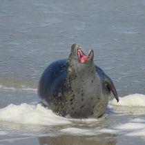 Robben Gähne von kattobello