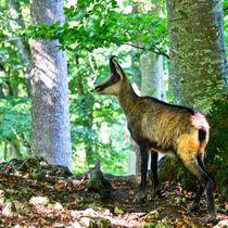 Gämse im Wald von kattobello
