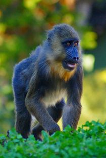 Mandrill Baby 1 by kattobello