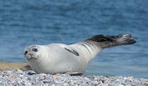 Seehund Gruß von kattobello