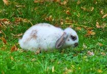 Zwergwidder Kaninchen Baby von kattobello
