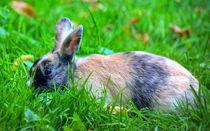 Braun schwarzes Kaninchen von kattobello