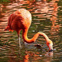 Flamingo auf Futtersuche by kattobello