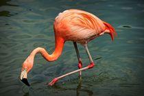Flamingo auf Nahrungssuche by kattobello