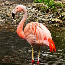 Flamingo im See von kattobello