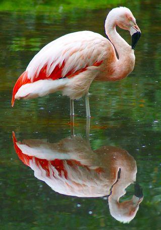 Flamingo-spiegelbild
