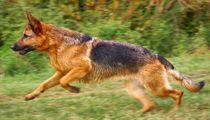 Deutscher Schäferhund in Aktion von kattobello