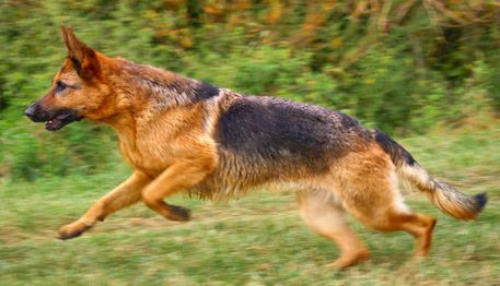 Schaeferhundsprung-ab