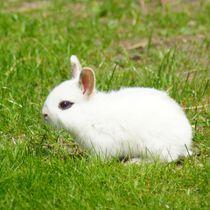 Weißes Zwergkaninchen Baby von kattobello