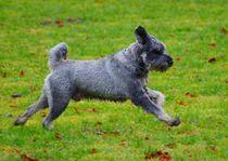 Zwergschnauzer Rennen von kattobello