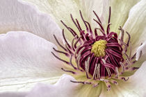 Clematis by Bettina Dittmann
