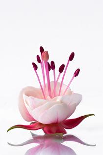 Fuchsia von Bettina Dittmann
