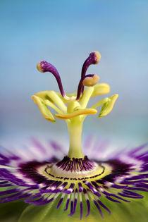 Passionsblume von Bettina Dittmann