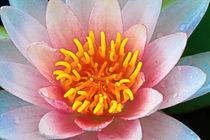 Blüte der Seerose von Bernhard Kaiser