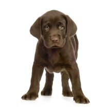 Chocolate Labrador Retriever Pup von past-presence-art