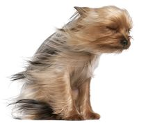 Yorkshire Terrier with Hair in the Wind von past-presence-art