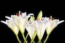 White lilies von past-presence-art