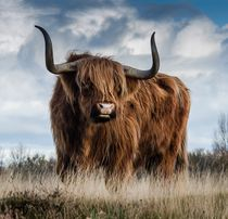 Highland bull in a meadow by past-presence-art