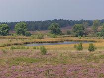 Heideblüte in den Maasdünen-2 by maja-310