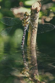 Elfenspiegel - Mosaikjungfer von Chris Berger