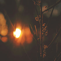 Twilight Wattle by Karen Black
