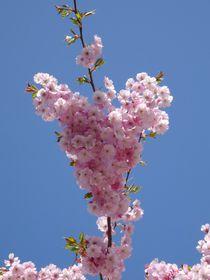 Kirschblüten Herz von kattobello