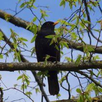 Amsel im Baum by kattobello