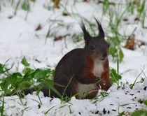 Eichhörnchen im Winter von kattobello