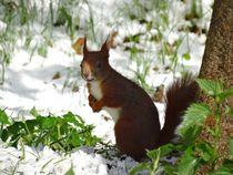Eichhörnchen im Schnee von kattobello