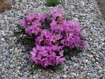 Rosa Rhododendronbusch von kattobello