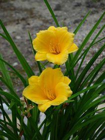 Gelbe Taglilie von kattobello