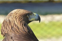 Adler-2 von maja-310