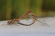 Libellenpaarung by Bernhard Kaiser