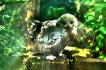 Schneeeule im Zwielicht von kattobello