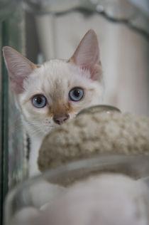 Bengal Kitten / 13 by Heidi Bollich