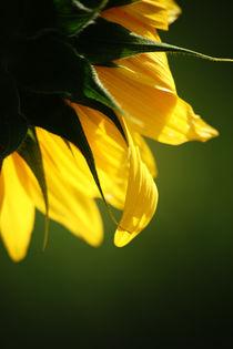 Sonnenblume  von Bastian  Kienitz