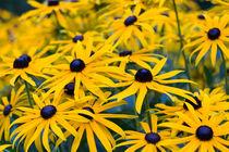 gelbes Blumenmeer von Karsten Bergmann