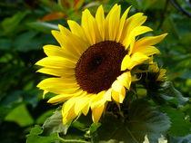 Sonnenblume - 1 von maja-310