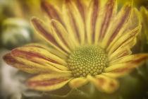 Herbstblümchen von Petra Dreiling-Schewe