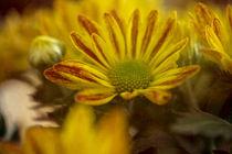 Goldener Herbst von Petra Dreiling-Schewe
