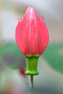 Passiflora edmundoii by Bernhard Kaiser