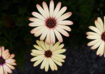 'Many Petals' von David Bishop