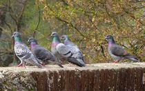 Tauben auf der Ulmer Stadtmauer von kattobello