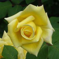 Gelbe Rosenblüte von kattobello