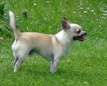 Chihuahua im Grünen von kattobello