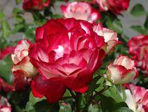 Rot weiße Rosen von kattobello