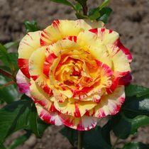 Rot gelbe Rosenblüte von kattobello